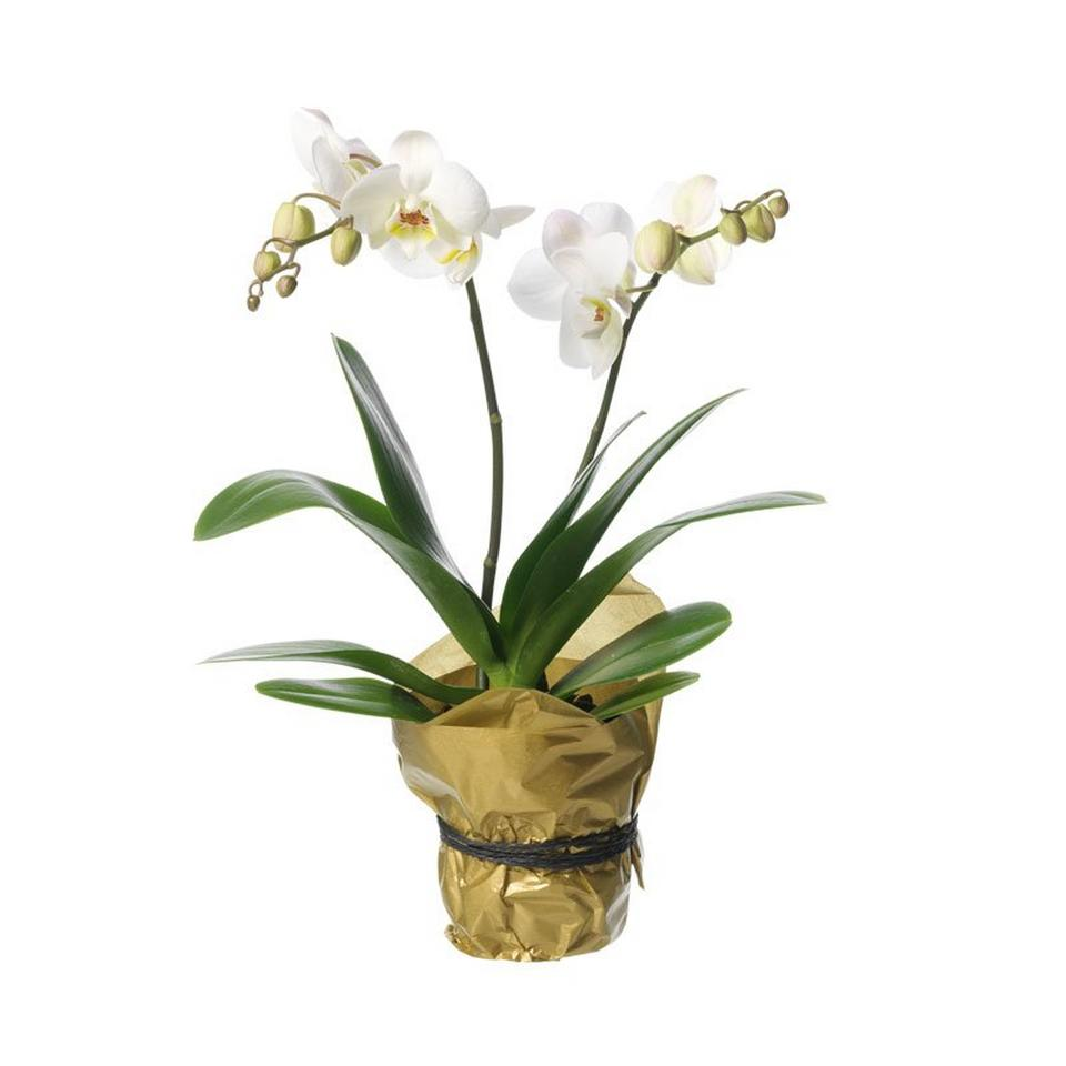 Image 1 of 1 of Single plant Orchid