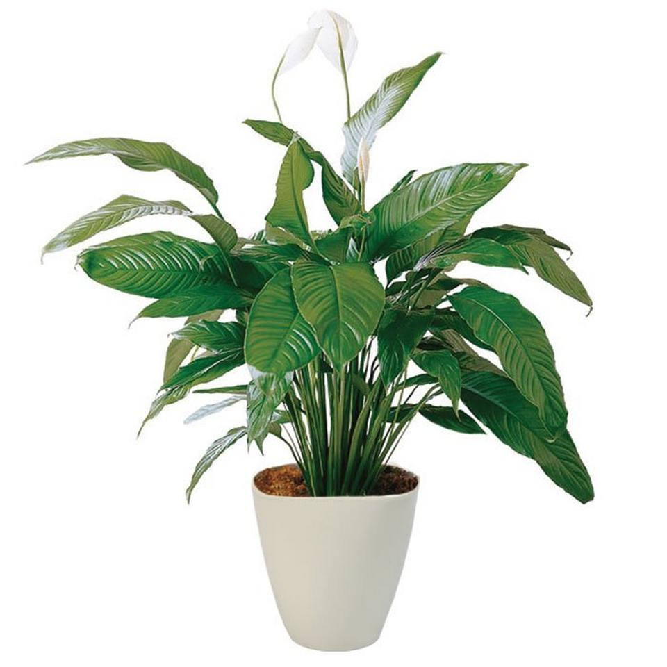 Image 1 of 1 of Spathiphyllum in pot