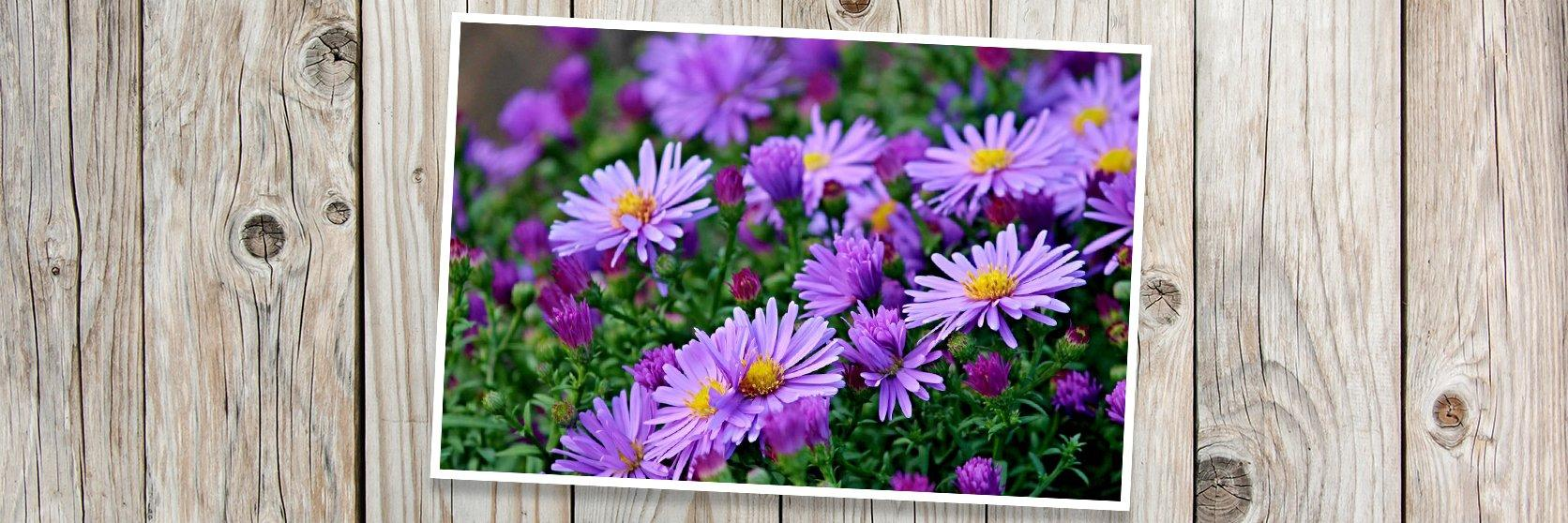 Asters-PLANK