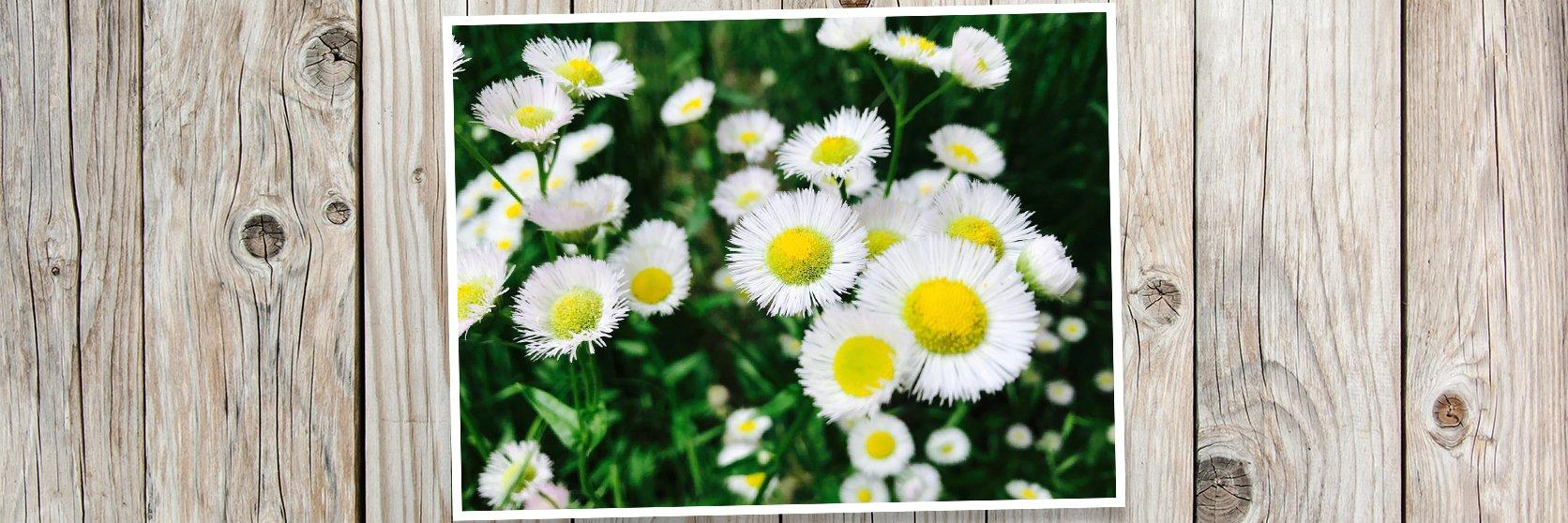 Canva-Asters-Flowers-PLANK