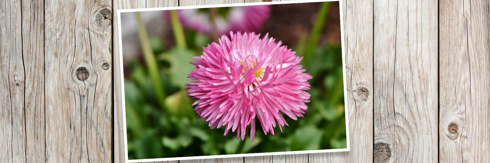 China-Aster-Flower-Blossom-PLANK