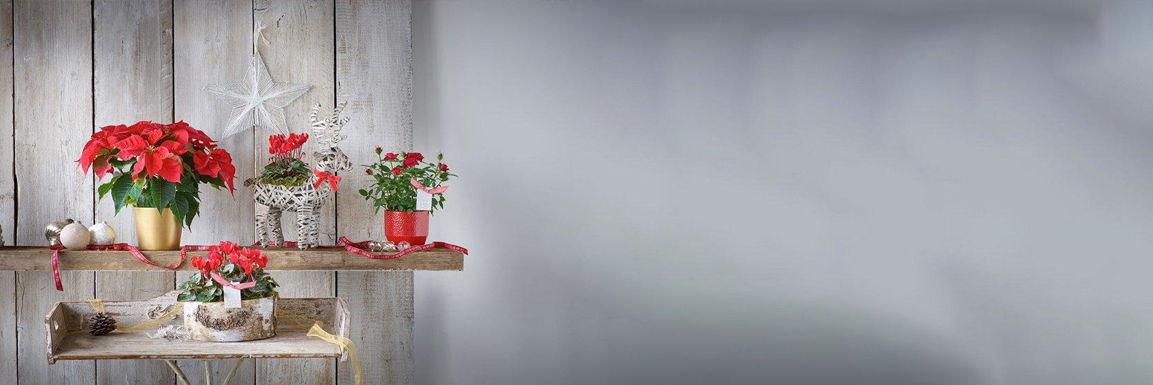 Christmas-plants-cropped-banner