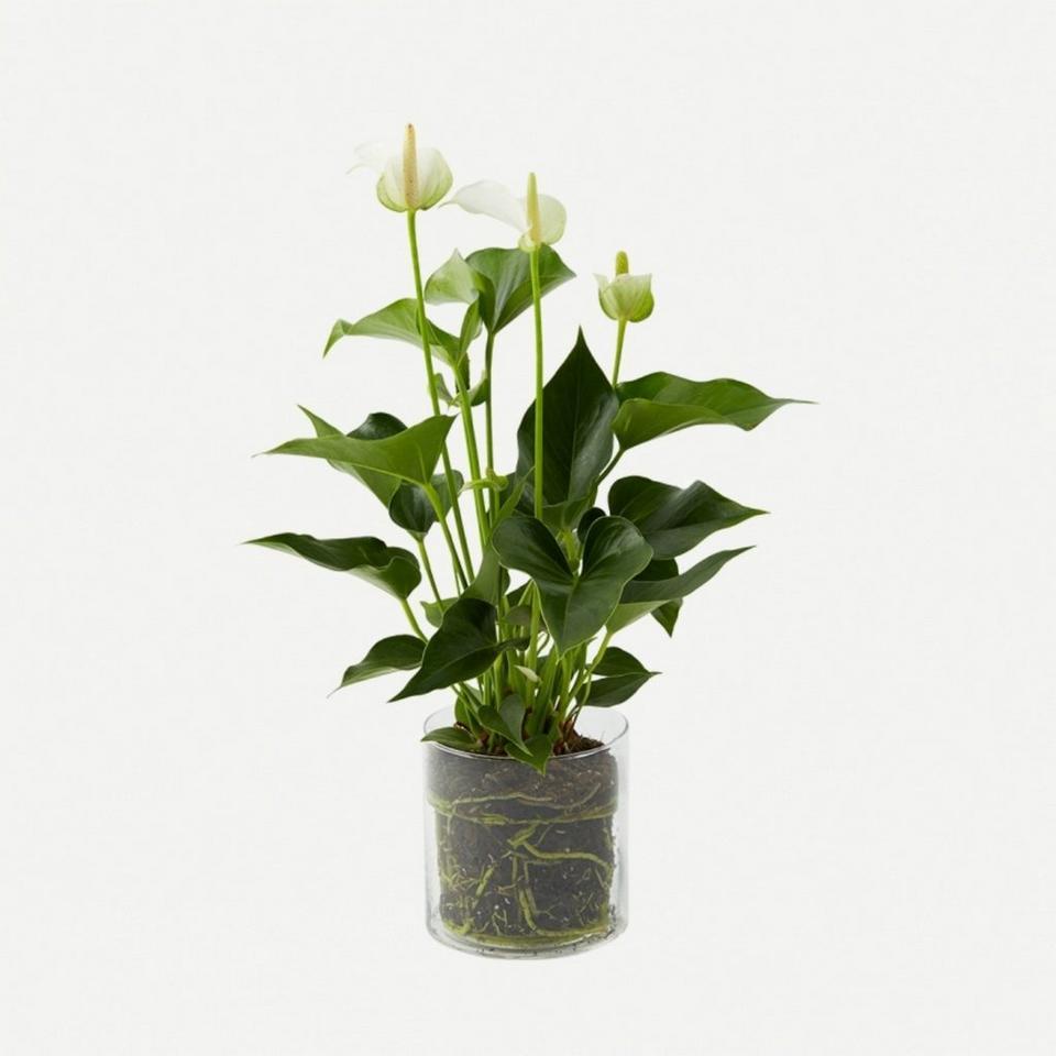 Image 1 of 1 of Plant - White Anthurium