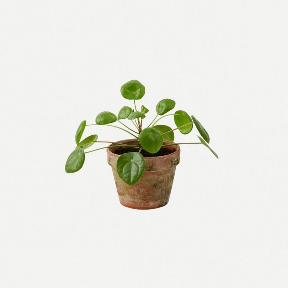 Image 1 of 1 of Plant - Pilea
