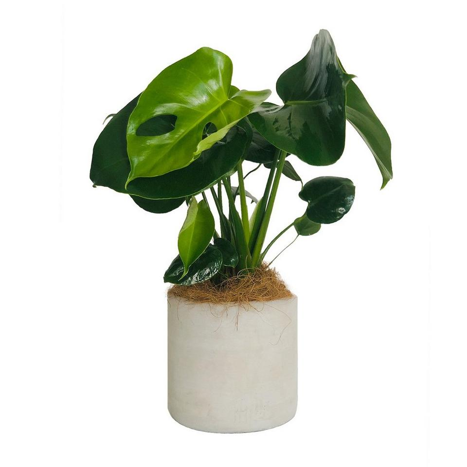 Image 1 of 1 of Perfect Monstera
