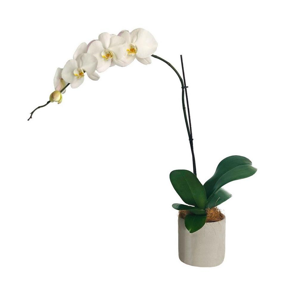 Image 1 of 1 of Moth Orchid