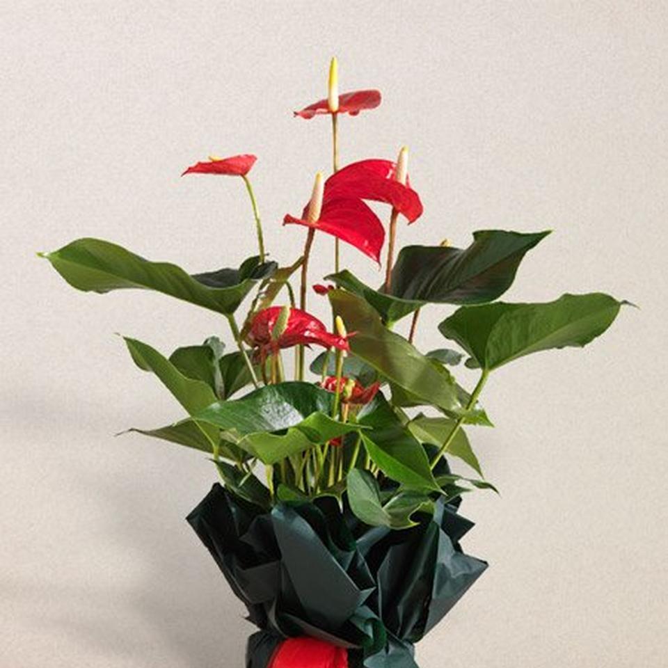 Image 1 of 1 of Anthurium