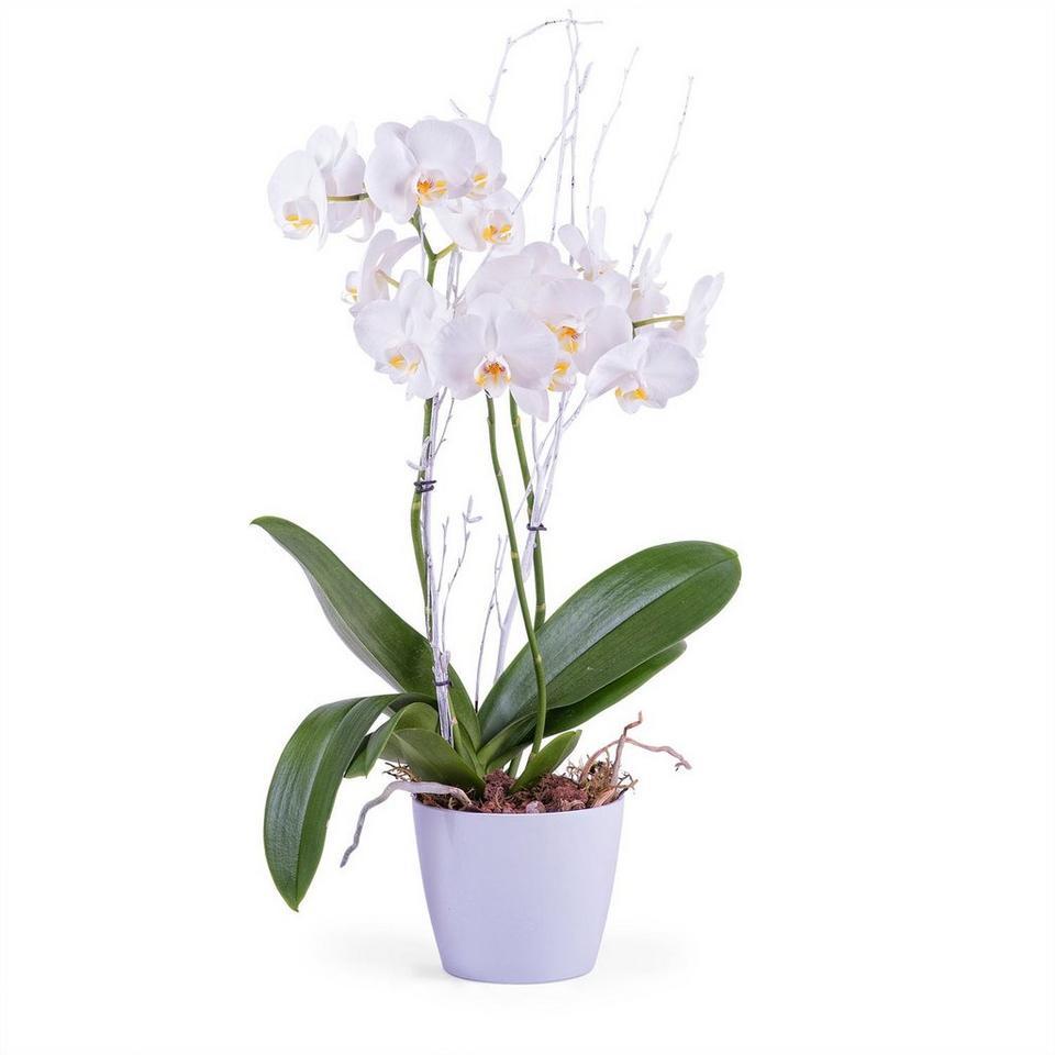 Image 1 of 1 of Phalaenopsis Premium Plant