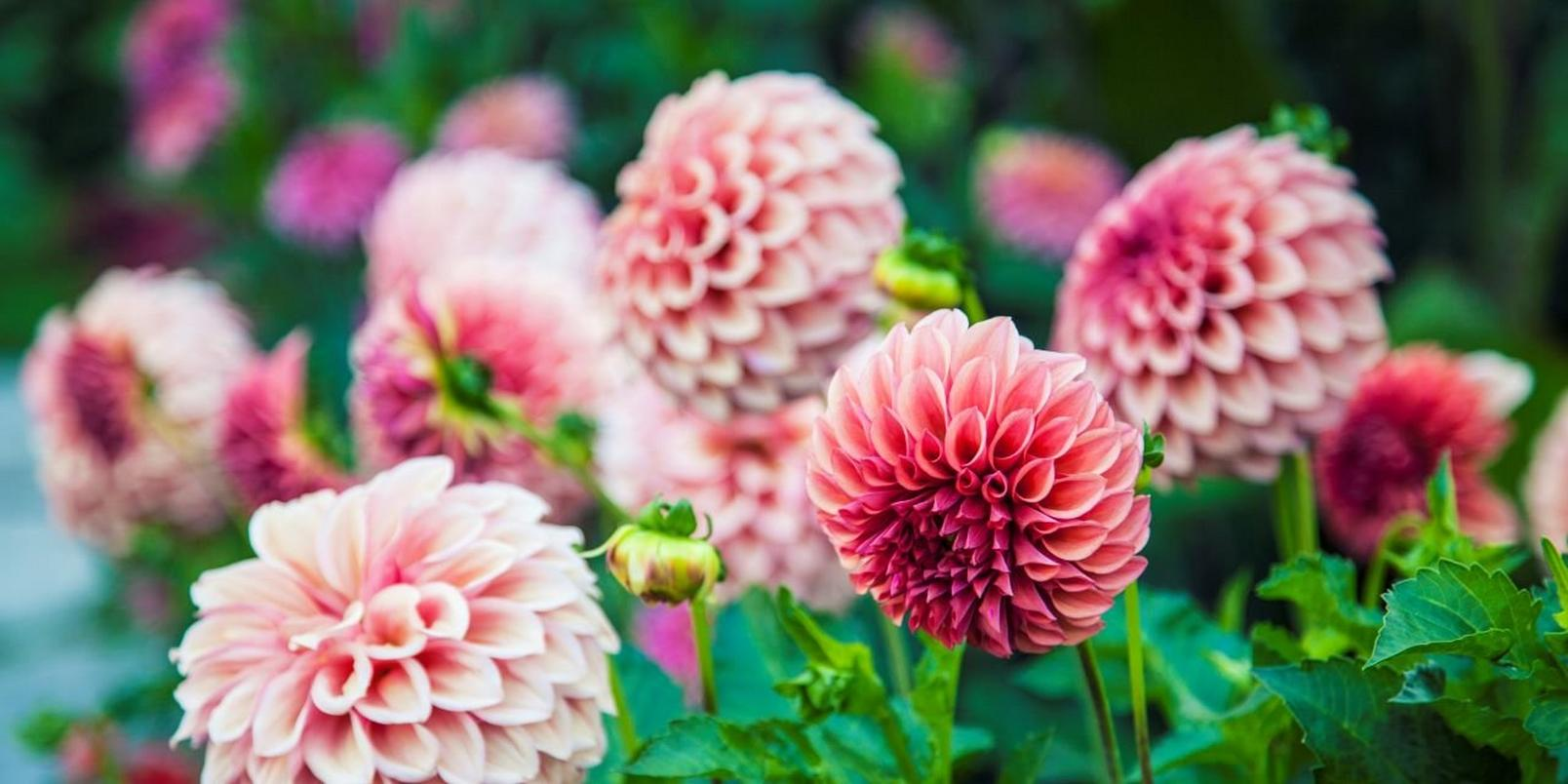 Pink-flowers-7