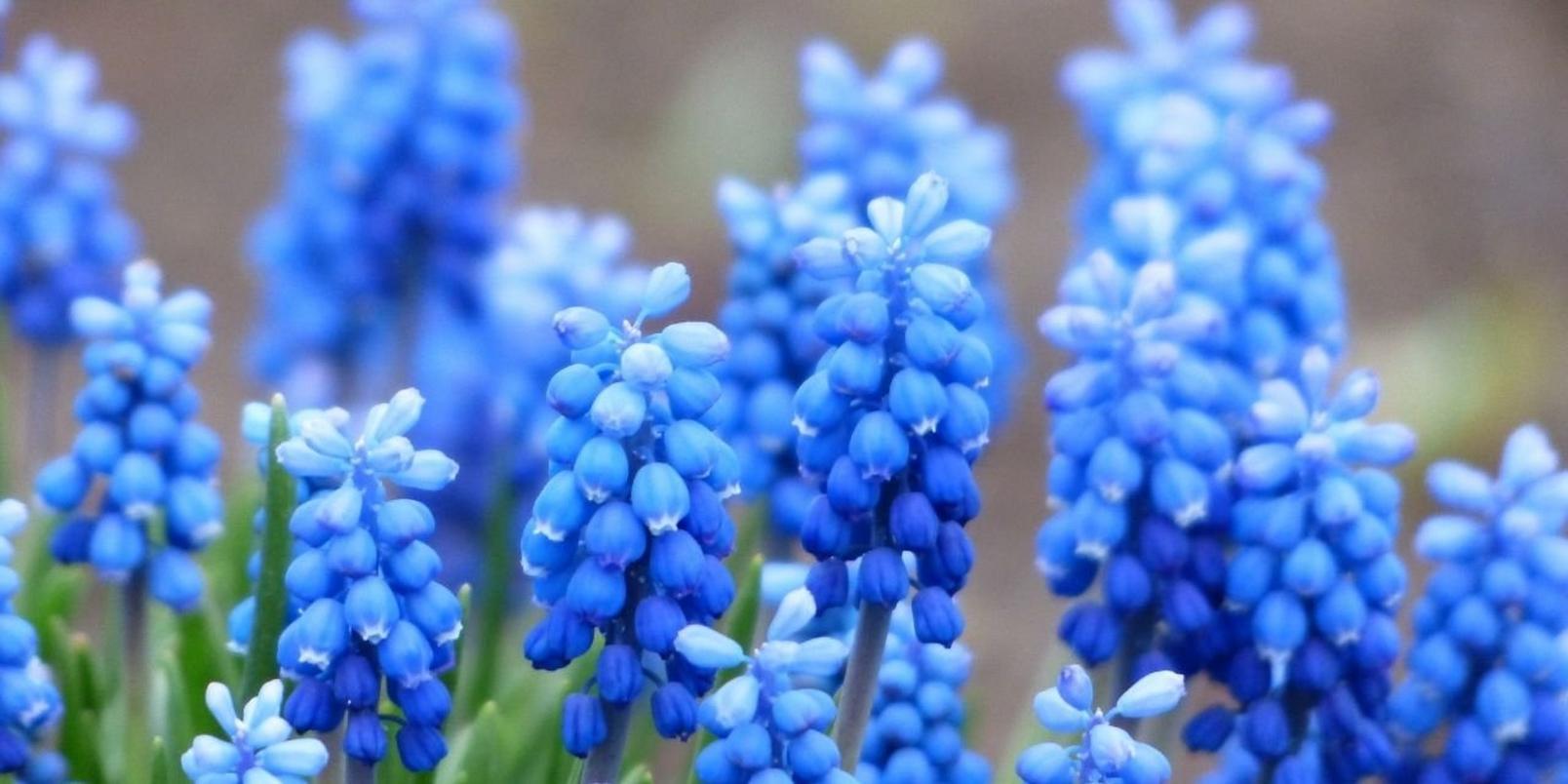Untitled-design-45-Hyacinth