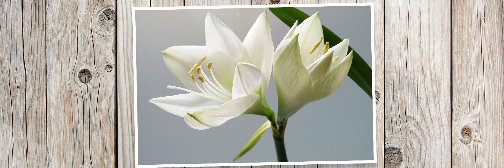 White-amaryllis-PLANK