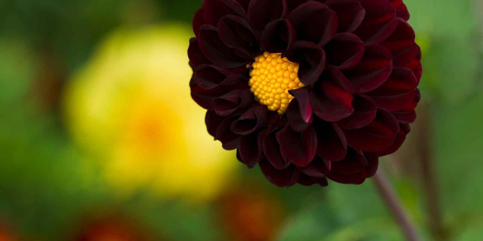 black-dalia-interflora