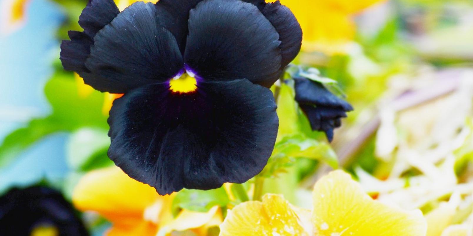 black-pansies-interflora