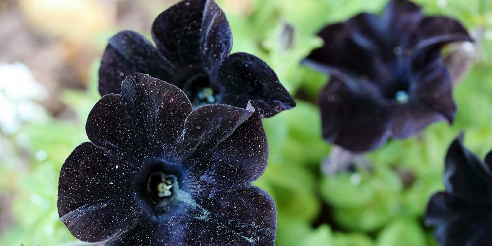 black-velvet-petunia