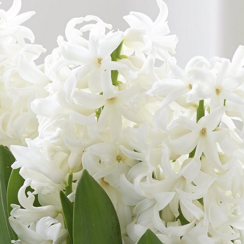 header-image-hyacinth-flower-guide