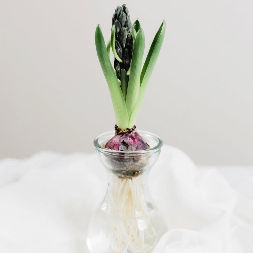 hyacinth-bulb