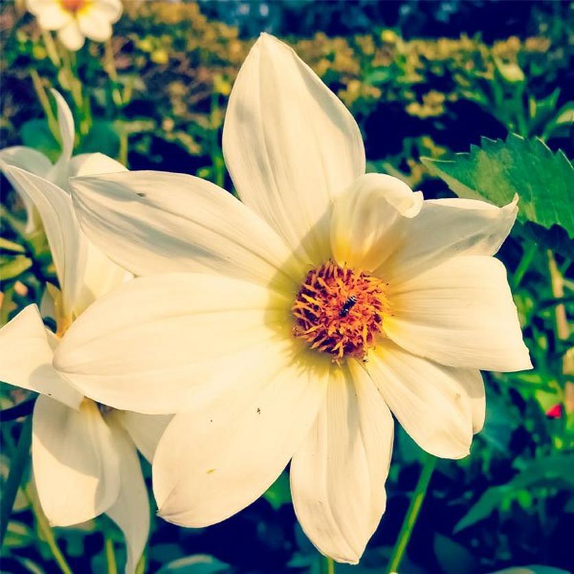 italian-white-sunflower-ultimate-guide