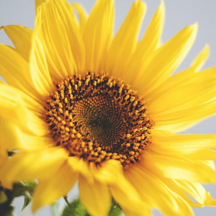 paccino-sunflowers