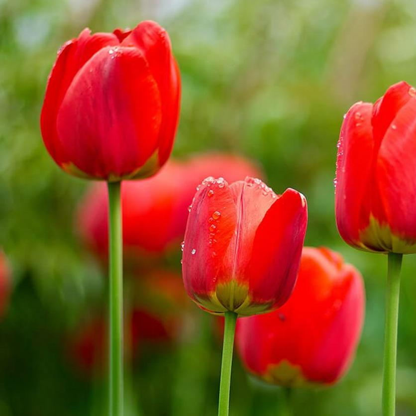 red-tulips-ultimate-flower