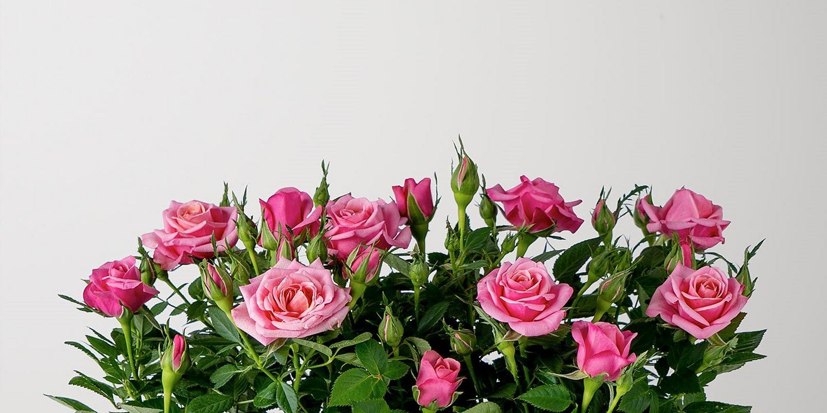 rose-plants