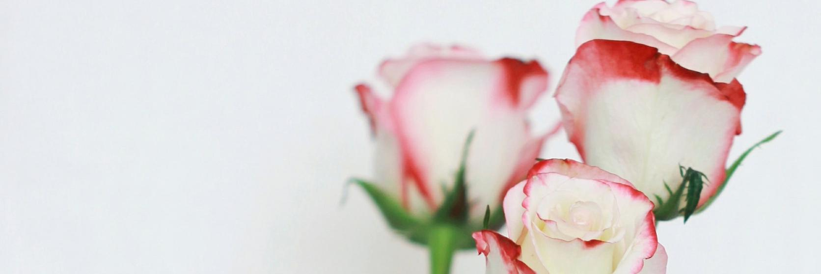 roses-white-pink