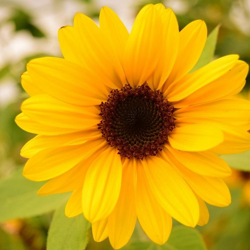 suntastic-yrellow-sunflower